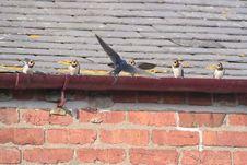 Free Swallow Feeding Chicks Royalty Free Stock Photos - 1016138