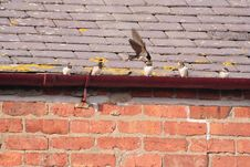 Free Parent Swallow Feeding Fledglings Royalty Free Stock Image - 1016166