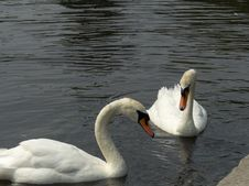 Free Swans Stock Photography - 1016362