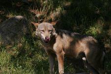 Free Portrait Of Wolf Stock Photo - 1016490
