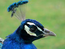 Free Peacock Head. Stock Photo - 1016760