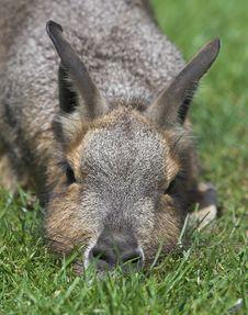 Free Mara Rodent Stock Image - 1017171