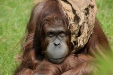 Free Portrait Of A Youg Orang Utan Royalty Free Stock Image - 1018046