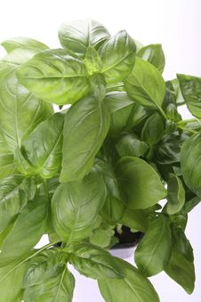 Free Basil Plant Stock Photo - 1018770