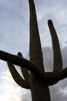 Free Tall Saguaro Royalty Free Stock Image - 1018776