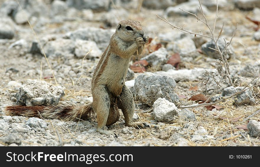 Groundsquirrel pretender
