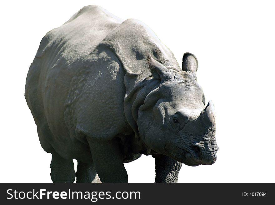 rhino peaceful isolated