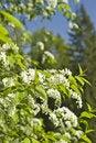 Free Flowering Bird Cherry Royalty Free Stock Photos - 10109088