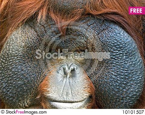 Free Orangutan Close-up Royalty Free Stock Photography - 10101507