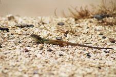 Free Lizard Stock Photography - 10100032