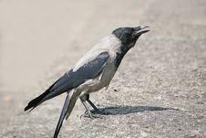 Free Raven Stock Image - 10100351