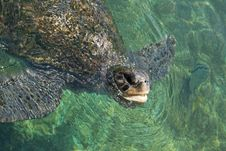 Free The Green Turtle Royalty Free Stock Photo - 10101105