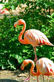 Free Flamingo Royalty Free Stock Photos - 10101488