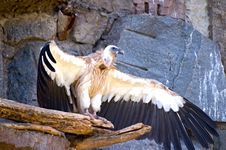 Free Griffon Vulture Stock Photography - 10101492