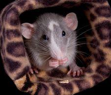Munching Dumo Rat Royalty Free Stock Image
