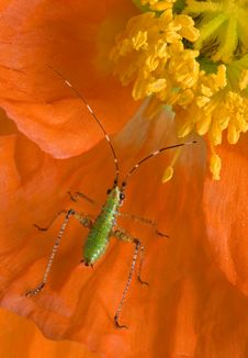 Free Tiny Insect On Poppy Royalty Free Stock Photos - 10102778