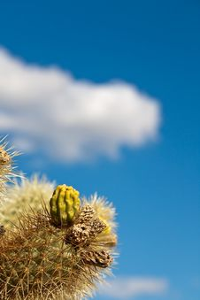 Jumping Colla Cactus Detail Royalty Free Stock Photo