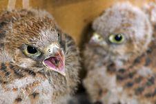 Free Birds Of Prey Family Royalty Free Stock Image - 10104866