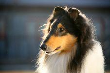 Free Dog Pet Collie Stock Photos - 10107563
