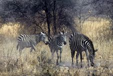 Free Zebras,Serengeti Royalty Free Stock Images - 10109839