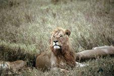 Free Lion,Serengeti Stock Images - 10109884