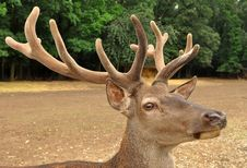 Prime Stag Stock Photography