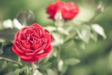 Free Flower, Red, Rose, Rose Family Royalty Free Stock Image - 101008476