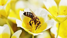 Free Flower, Bee, Honey Bee, Yellow Royalty Free Stock Photo - 101011065