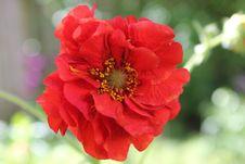 Free Flower, Red, Flora, Petal Stock Image - 101012881