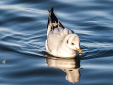 Free Bird, Water, Water Bird, Duck Stock Images - 101015794