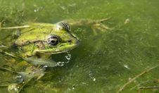 Free Ranidae, Amphibian, Ecosystem, Frog Stock Photography - 101016032