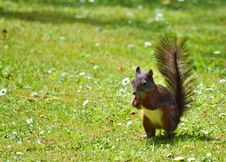 Free Squirrel, Fauna, Mammal, Fox Squirrel Royalty Free Stock Photo - 101016625