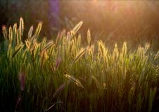 Free Grass, Vegetation, Grass Family, Morning Royalty Free Stock Images - 101016639