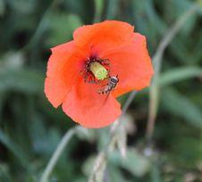 Free Flower, Wildflower, Poppy, Poppy Family Royalty Free Stock Image - 101017116