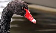 Free Beak, Black Swan, Water Bird, Bird Stock Photos - 101017923
