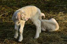 Free Sheep, Grass, Fauna, Pasture Royalty Free Stock Photo - 101018335