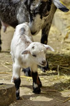 Free Goats, Goat, Fauna, Cow Goat Family Royalty Free Stock Image - 101020056