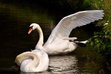 Free Swan, Water Bird, Bird, Ducks Geese And Swans Royalty Free Stock Photo - 101023925