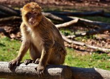 Free Macaque, Fauna, Mammal, Primate Stock Photo - 101023960