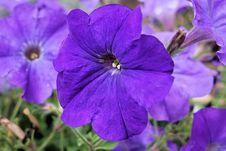 Free Flower, Blue, Purple, Flora Stock Images - 101024414