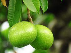 Free Fruit, Fruit Tree, Key Lime, Citrus Royalty Free Stock Photos - 101024608