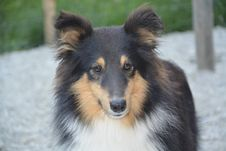 Free Dog, Dog Breed, Dog Like Mammal, Scotch Collie Royalty Free Stock Photography - 101024627