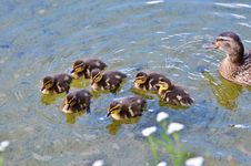 Free Duck, Bird, Fauna, Ducks Geese And Swans Royalty Free Stock Image - 101024826