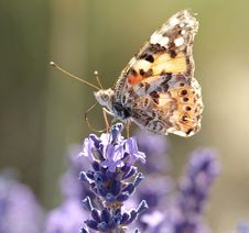 Free Butterfly, Insect, Moths And Butterflies, Brush Footed Butterfly Royalty Free Stock Photo - 101025305