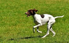 Free Dog Breed, Old Danish Pointer, Pointer, Grass Royalty Free Stock Images - 101025709