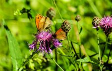 Free Butterfly, Flower, Brush Footed Butterfly, Insect Royalty Free Stock Image - 101027676