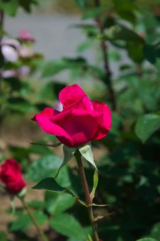Free Flower, Rose Family, Rose, Plant Royalty Free Stock Photos - 101027808