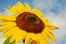 Free Flower, Sunflower, Yellow, Sunflower Seed Stock Images - 101029204