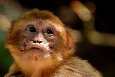 Free Mammal, Fauna, Primate, New World Monkey Royalty Free Stock Photos - 101030278
