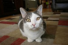 Free Cat, Whiskers, Small To Medium Sized Cats, Cat Like Mammal Stock Images - 101030314